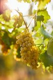 A bunch of yellow grapes on a vineyard stock image