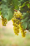 Bunch of yellow grapes in the vineyard royalty free stock image