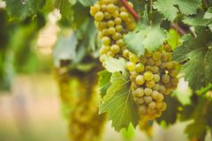 Bunch of yellow grapes in the vineyard royalty free stock photo
