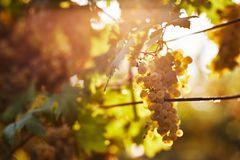A bunch of yellow grapes on a vineyard stock photo