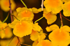 Bunch of Yellow Honey fragrant orchid Stock Image