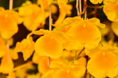 Bunch of YelloW Honey fragrant orchid Royalty Free Stock Photos