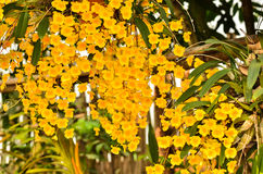 Bunch of YelloW Honey fragrant orchid Royalty Free Stock Image