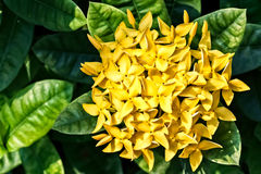 Bunch of Yellow Ixora, West Indian Jasmine (Ixora, spp.) Royalty Free Stock Photos