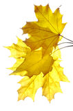 Bunch of yellow maple leaves Royalty Free Stock Photography