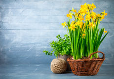 Bunch yellow narcissus in wattled basket Stock Photo