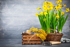 Bunch yellow narcissus in wattled basket Royalty Free Stock Image