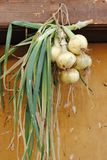 Bunch of yellow onions Stock Image