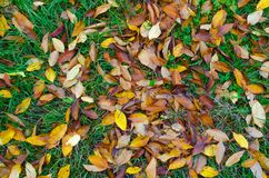 A bunch of yellow and orange leaves on still green autumn grass. Stock Photo