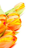 Bunch of yellow orange tulips Royalty Free Stock Images