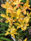 A bunch of yellow orchids royalty free stock photo