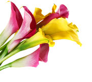 Bunch of yellow and pink cala lilies Stock Photography