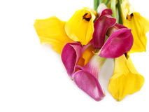 Bunch of yellow and pink cala lilies Stock Image