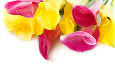 Bunch of yellow and pink cala lilies Royalty Free Stock Photography