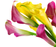 Bunch of yellow and pink cala lilies Stock Photo