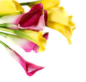 Bunch of yellow and pink cala lilies Stock Photos