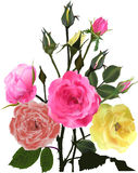 Bunch of yellow and pink roses on white Royalty Free Stock Photo