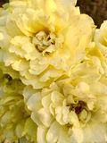 Yellow roses. Bunch of yellow roses Stock Images