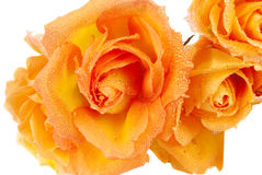 Bunch of yellow roses. Isolated on the white background Stock Photos