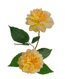 A bunch of yellow roses. On white Stock Images