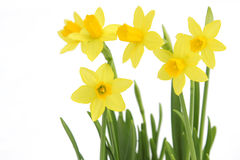 Bunch of yellow spring daffodils Stock Photography