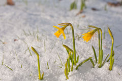 Daffodil blooming through the snow Stock Images