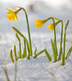 Daffodil blooming through the snow Stock Photos