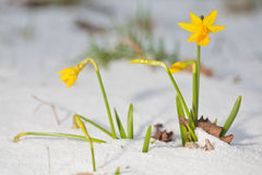 Daffodil blooming through the snow Stock Image