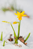 Daffodil blooming through the snow Royalty Free Stock Photo