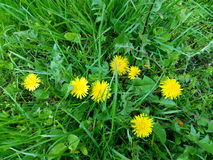 A bunch of yellow spring dandelions among green wet grass Stock Images
