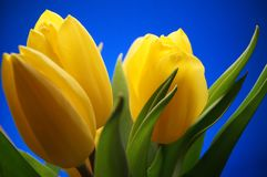 Bunch of yellow Tulip Flowers on blue sky background. Beautiful Stock Images