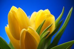 Bunch of yellow Tulip Flowers on blue sky background. Beautiful Stock Photos
