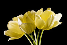 Bunch of yellow tulips on black background Stock Photo