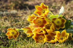 Bunch of yellow tulips on the grass Royalty Free Stock Photo