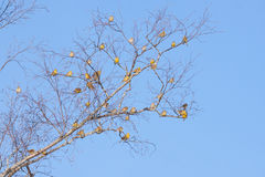 Bunch of yellowhammer birds. Sitting on tree Stock Images
