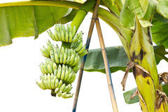 Bunch of young banana fruit on its tree Royalty Free Stock Photos