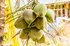 Bunch of young coconuts on tree. Royalty Free Stock Photo