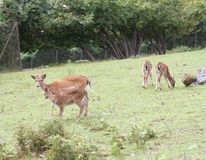 Bunch of young deer in the meadow in the mountains Royalty Free Stock Image