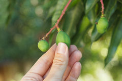 Bunch of young green mango on tree Royalty Free Stock Photos