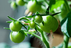 Bunch of young green tomato  close-up Royalty Free Stock Photos