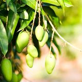 The bunch of young mangoes in the garden. The bunch of young mangoes from its tree in the garden Stock Photos