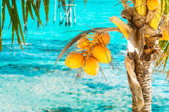 Bunch of the young yellow coconuts on the palm tre. E and tropical ocean on the background Royalty Free Stock Photography