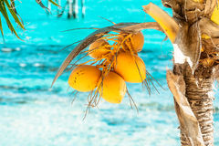 Bunch of the young yellow coconuts on the palm tre. E and tropical ocean on the background Royalty Free Stock Images