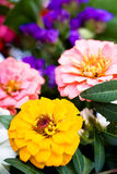 Bunch of zinnias Stock Images