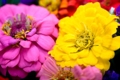 Bunch of zinnias Royalty Free Stock Photo