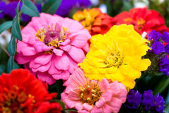 Bunch of zinnias Royalty Free Stock Photo