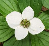 Bunchberry Royalty Free Stock Photos