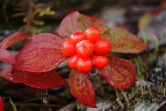 Bunchberry Berry Cluster - canadensis della cornina immagine stock