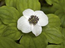 bunchberry cornus νάνο unalaschkensis Στοκ Εικόνα