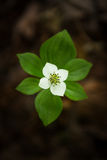 Bunchberry Flower. Top shot of a single Bunchberry flower Royalty Free Stock Photo